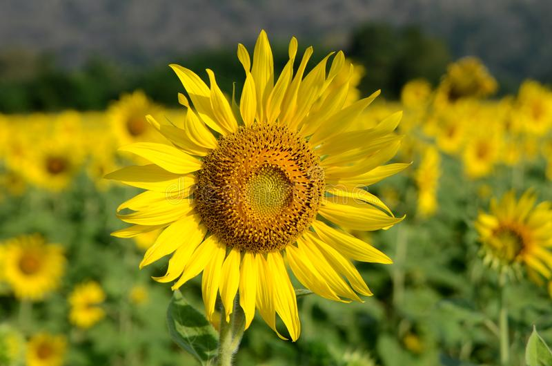 Adult sunflower in full bloom in field stock photos
