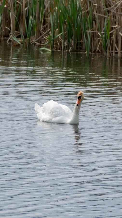 Adult swan on the lake. White swan swims. Ripples on the water and dry reeds in the background stock photography