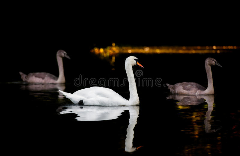 Adult Swan With Two large Cygnets On Dark Water. The beautiful mother swan accompanies two of her large cygnets along a dark river. Gold, yellow and orange light stock photo