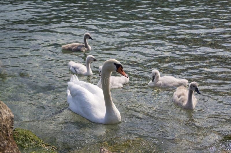 Adult swans and swan children on Lago di Garda lake, happy bird family royalty free stock image