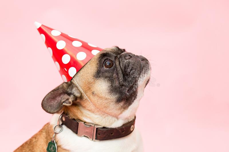 Adult Tan and White French Bulldog royalty free stock photo