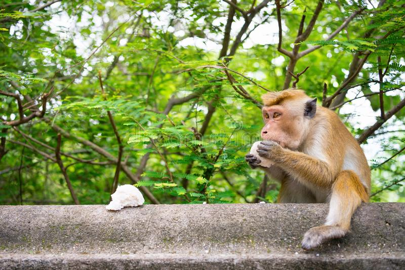 Adult temple monkey eat a piece of rice. With green tropical tree on background stock photo