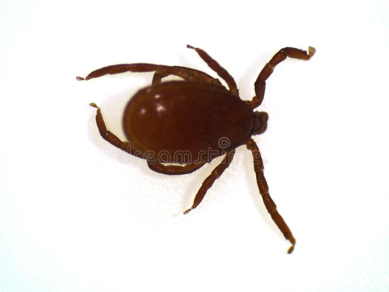 Adult normal sized tick Ixodes ricinus. Adult tick Ixodes ricinus at normal size before sucking blood royalty free stock photography