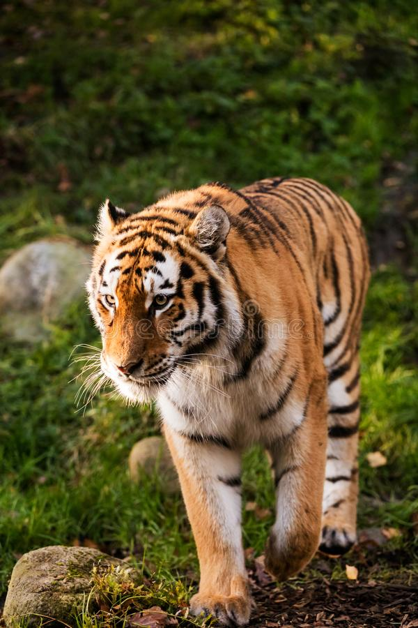 A tiger walking in a green forest. An adult tiger walking slowly between rocks in a green forest royalty free stock image
