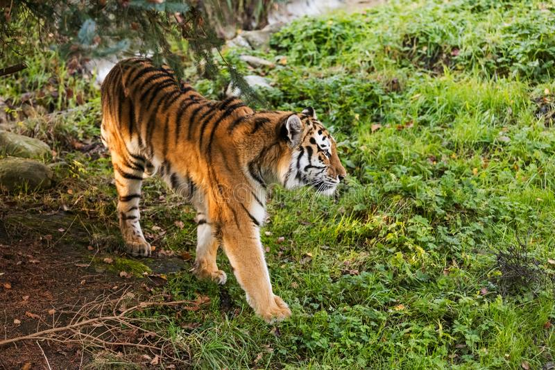 A tiger walking in a green forest stock images