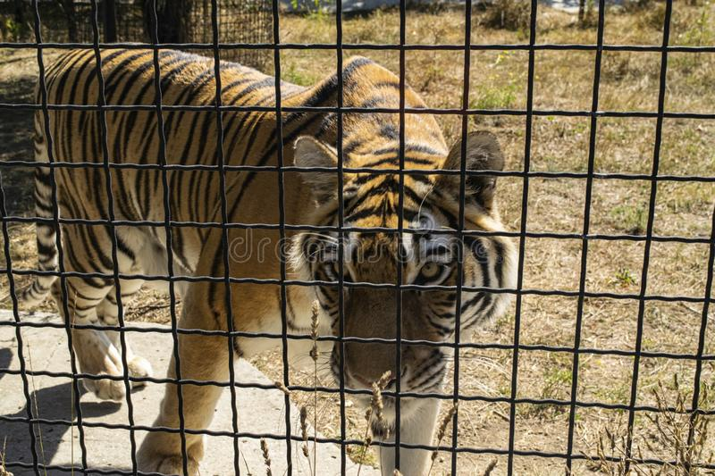 Adult tiger in the zoo behind the fence.  stock photo
