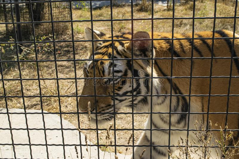 Adult tiger in the zoo behind the fence.  royalty free stock photography