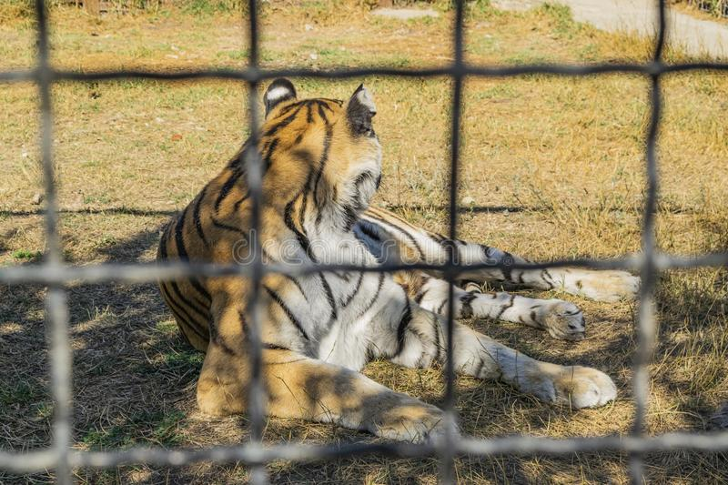 Adult tiger in the zoo behind the fence.  stock photography