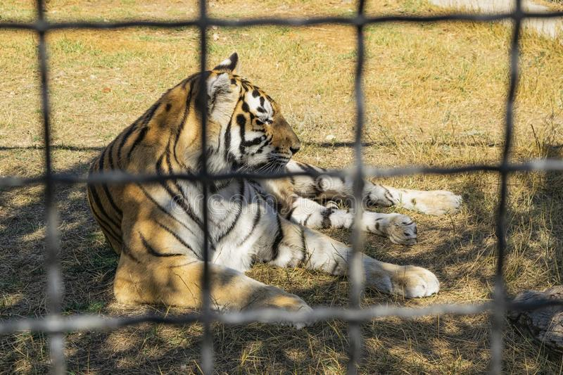 Adult tiger in the zoo behind the fence. Adult tiger in the zoo behind the fence royalty free stock images
