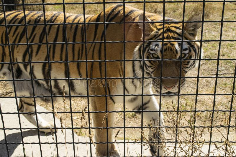 Adult tiger in the zoo behind the fence. Adult tiger in the zoo behind the fence royalty free stock photo
