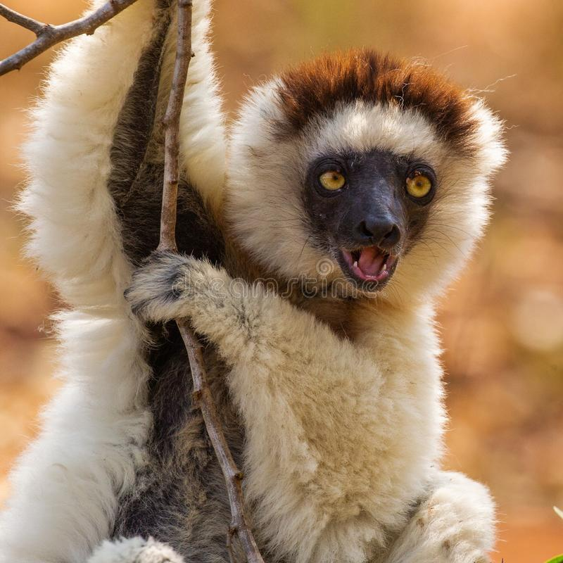 Verreaux`s Sifaka Lemur. Adult Verreaux`s Sifaka Lemur Clinging From Tree Limb While Vocalizing, Berenty Lodge Reserve, Madagascar stock photos