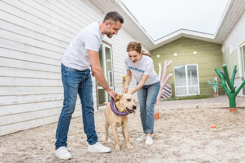 Adult volunteers of animals shelter playing. With labrador dog stock image