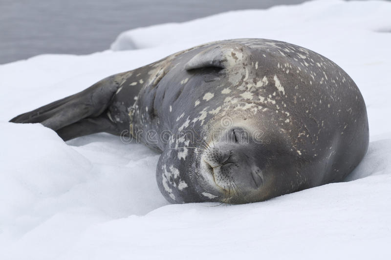 Download Adult Weddell Seal Which Lies In The Snow Antarctic Stock Photo - Image: 42789358