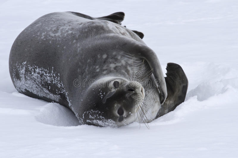 Download Adult Weddell Seal Which Lies In The Snow Antarctic Stock Photo - Image: 42789284