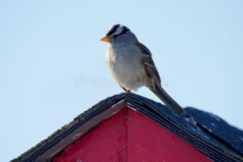 Adult white-crowned sparrow perches on peak of shed roof royalty free stock photography