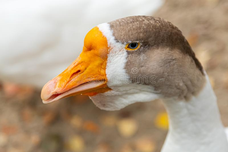 Portrait of a domestic goose. An adult white goose with a brown crest and a yellow beak looks away against the backdrop of a pond. Portrait of a domestic goose stock images