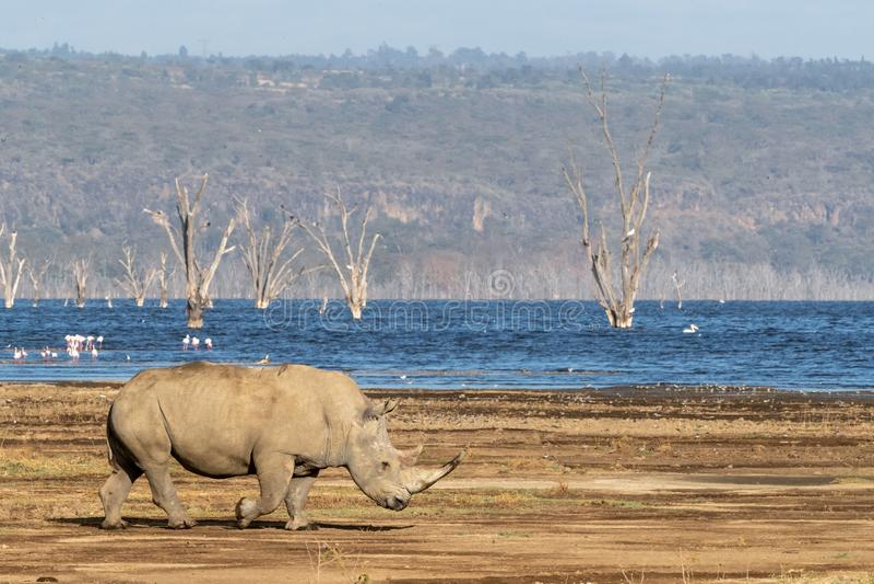 Adult white rhino at Lake Nakuru stock photo