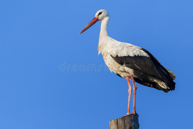 Adult white stork resting on wooden electricity stock images