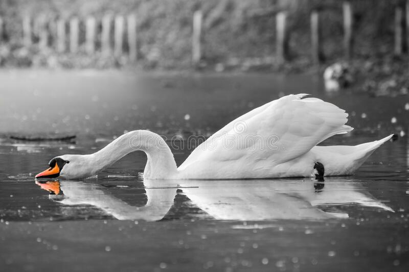 An adult white swan drinks water from a pond with its neck outstretched. The adult white swan drinks water with an outstretched neck. The pond is slightly frozen stock photos