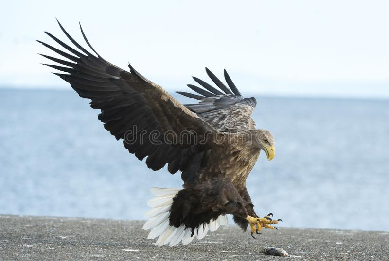 Adult White tailed eagle landed. Blue sky and ocean background. Scientific name: Haliaeetus albicilla, also known as the ern, erne, gray eagle, Eurasian sea stock images