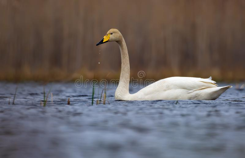 Mature Whooper swan sails on lake surface with water blobs falling from his beak royalty free stock image