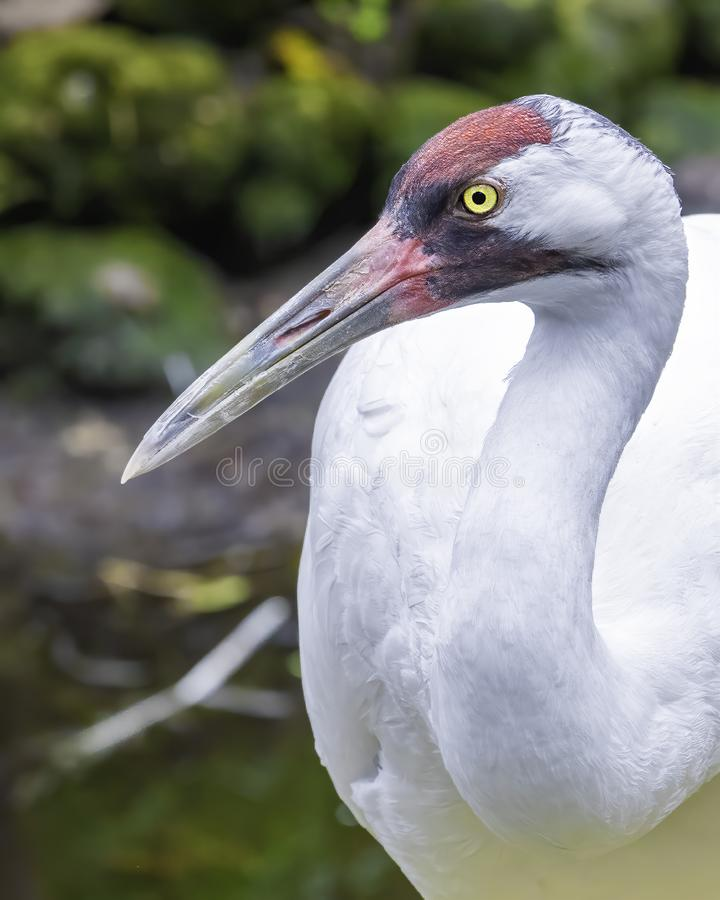Adult whooping crane stock photography