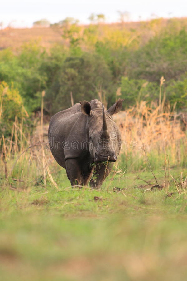 Adult wild white rhinoceros stock images