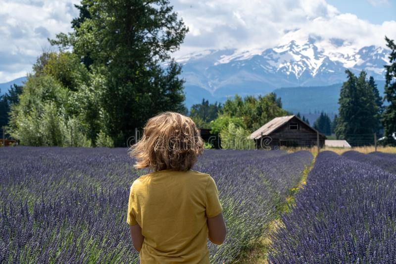 Adult woman strolls through a lavender field in Oregon, with Mt. Hood in the background. Back facing the camera, wind in hair.  stock images