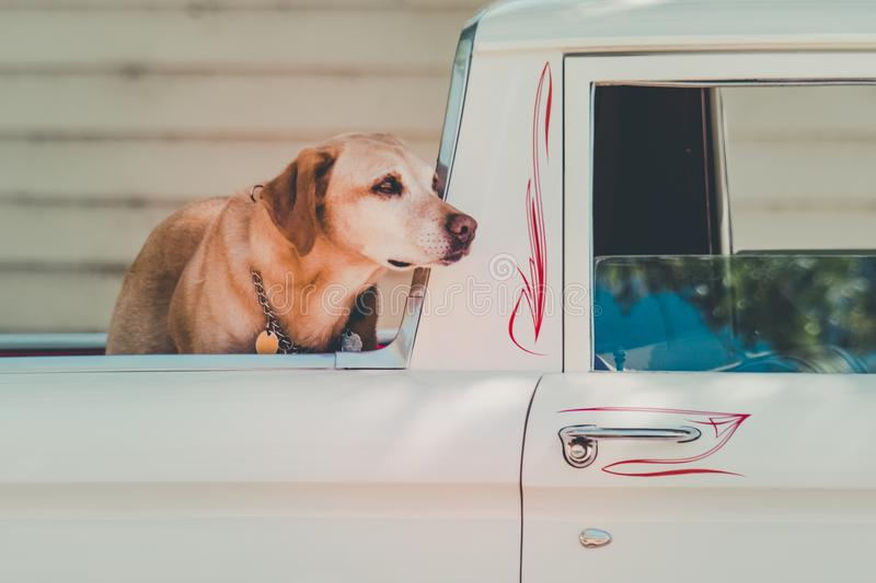 Adult Yellow Labrador Retriever at the Back of Pickup Truck stock photo