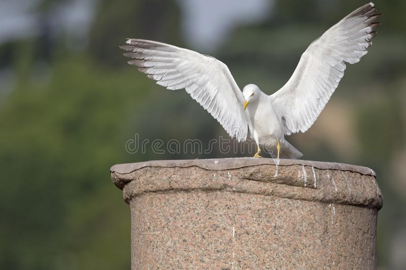 An adult yellow-legged gull landing on one of the ancient columns of the city centre of Rome. royalty free stock photography