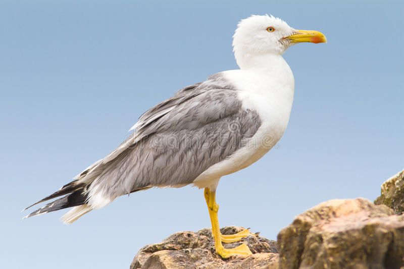 Download An Adult Of Yellow Legged-gull / Larus Cachinnans Stock Image - Image: 20049137