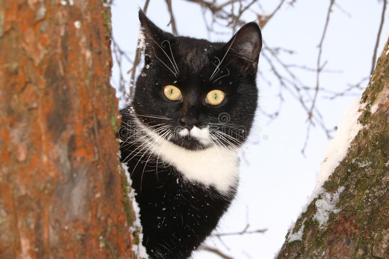 An adult young black and white cat with big shining yellow eyes is hiding behind a branch in a snowy red tree in a sunny winter or stock photography