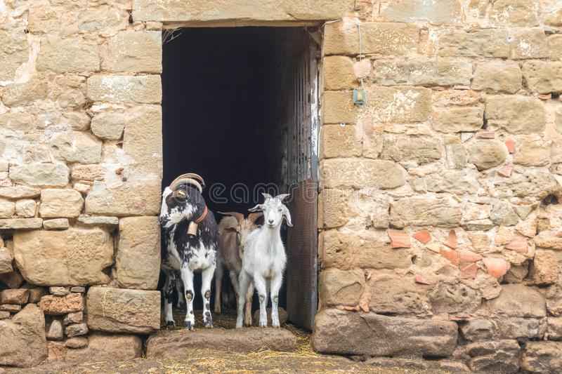 Adult and young goats looking out of barn doors. Life on farm. Ecotourism concept. Cute adult and young goats looking out of barn doors. Rural life on farm stock photo