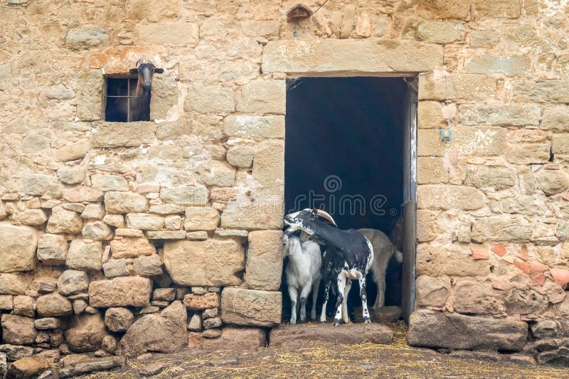 Adult and young goats looking out of barn doors and window. Life on farm. Ecotourism concept. Funny and cute adult and young goats looking out of barn doors and royalty free stock images