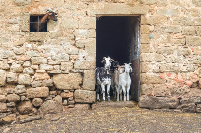 Adult and young goats looking out of barn doors and window. Life on farm. Ecotourism concept. Funny and cute adult and young goats looking out of barn doors and stock images