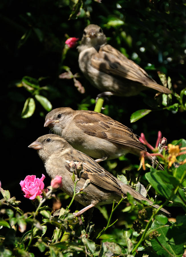 Adult and young Sparrows in tree. royalty free stock image