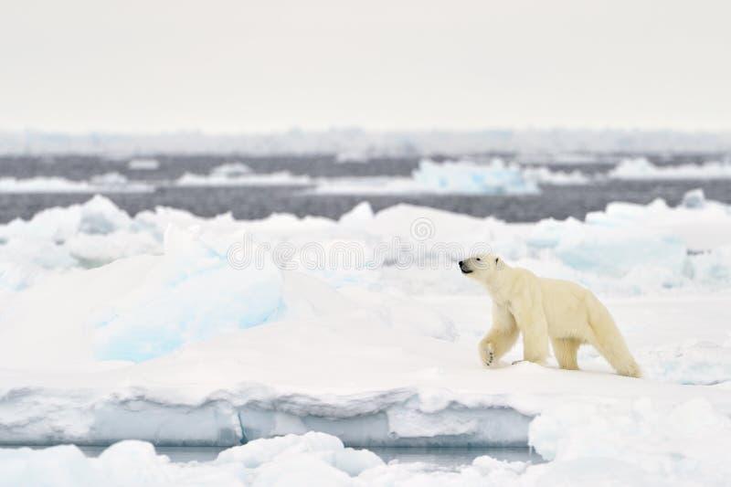 Adulte d'ours blanc (maritimus d'Ursus) photos libres de droits