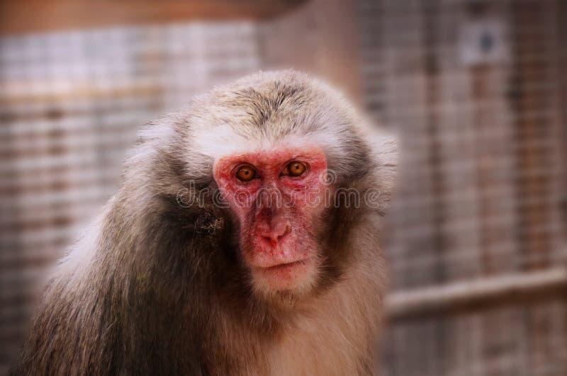 Adulte du macaque en parc images libres de droits