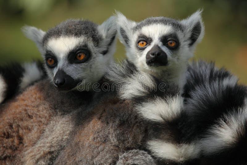 adulte et jeune Anneau-coupés la queue de lémur image libre de droits