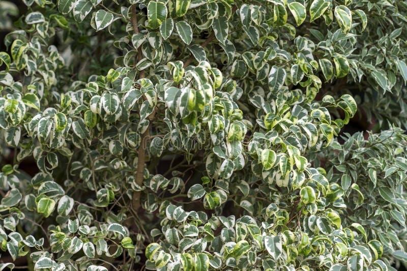 Adulte ficus Pflanze Starlight geschlossen Hintergrund, sanfter Knick stockbilder