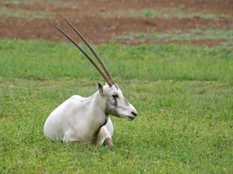 Adulto arabo del oryx che mostra fuori i corni enormi fotografia stock libera da diritti
