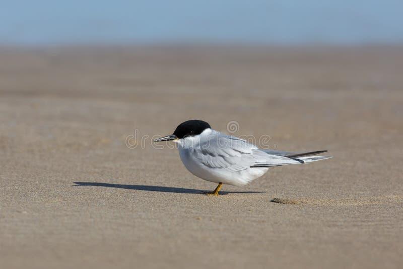 Adulto Damara Tern que descansa em uma praia imagens de stock
