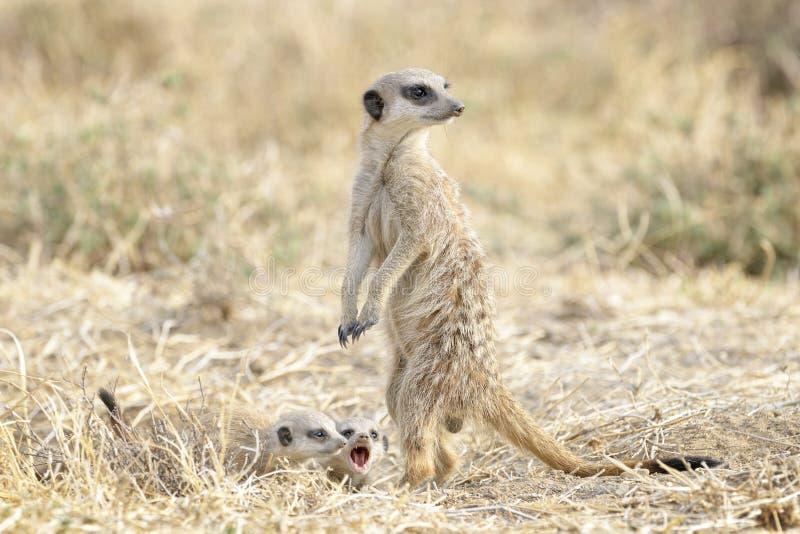 Adulto de Meerkats y dos jóvenes en el puesto de observación imagenes de archivo