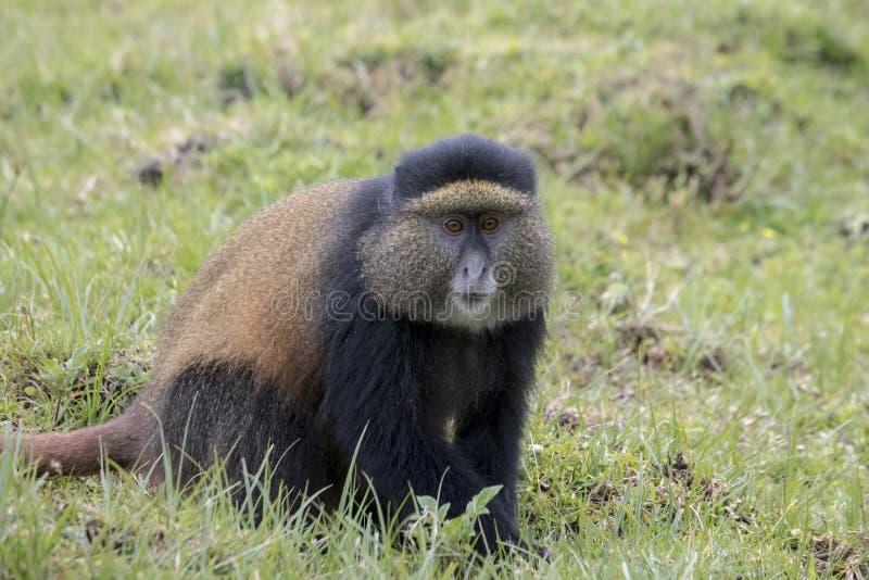 Adulto de oro en peligro del mono, volcanes parque nacional, Rwanda imágenes de archivo libres de regalías