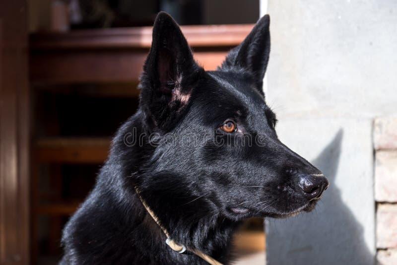 Adulto del ritratto tedesco nero del cane della razza fotografie stock
