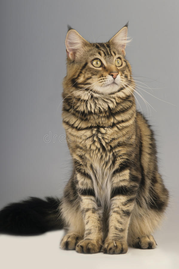 Adulto do gato de Maine Coon imagem de stock
