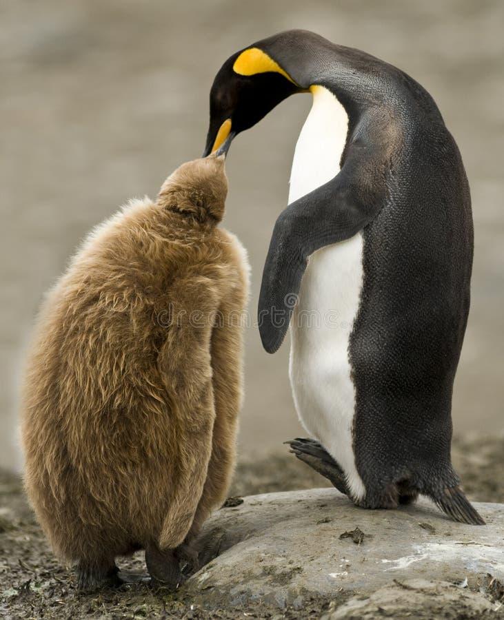 Adulto do rei pinguim que alimenta o pintainho Downy imagem de stock
