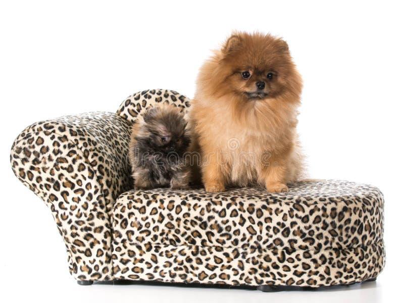 Adulto e cachorrinho de Pomeranian imagens de stock royalty free