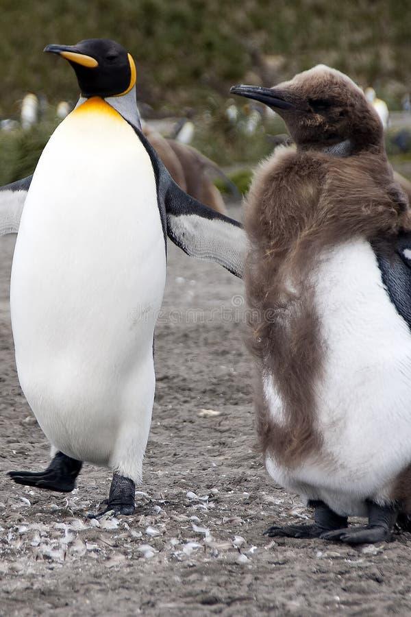Adulto e pinguim de rei juvenil na muda com colônia no fundo foto de stock royalty free