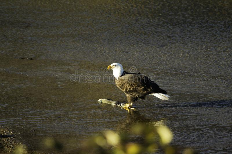 Adulto Eagle In The Fraser Valley imagens de stock royalty free